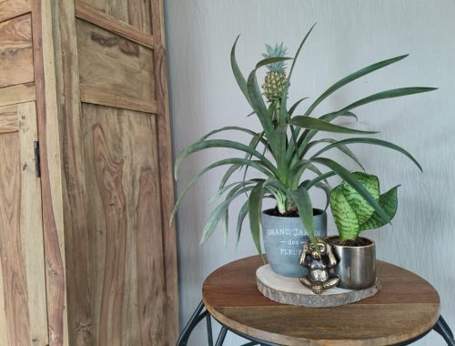 Ananasplant Bromelia ananas - Informatie Verzorgen stekken