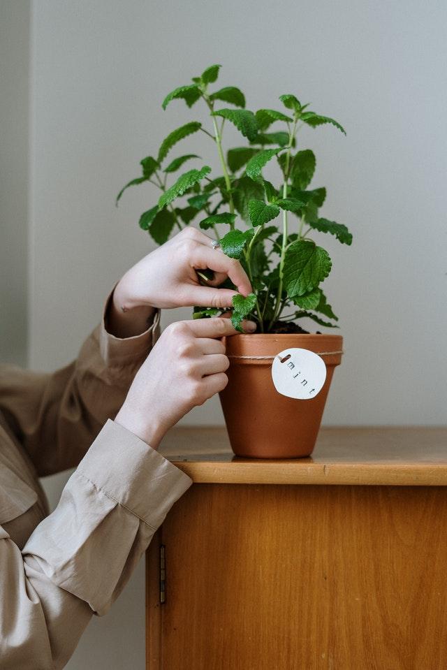 Munt planten tegen muggen
